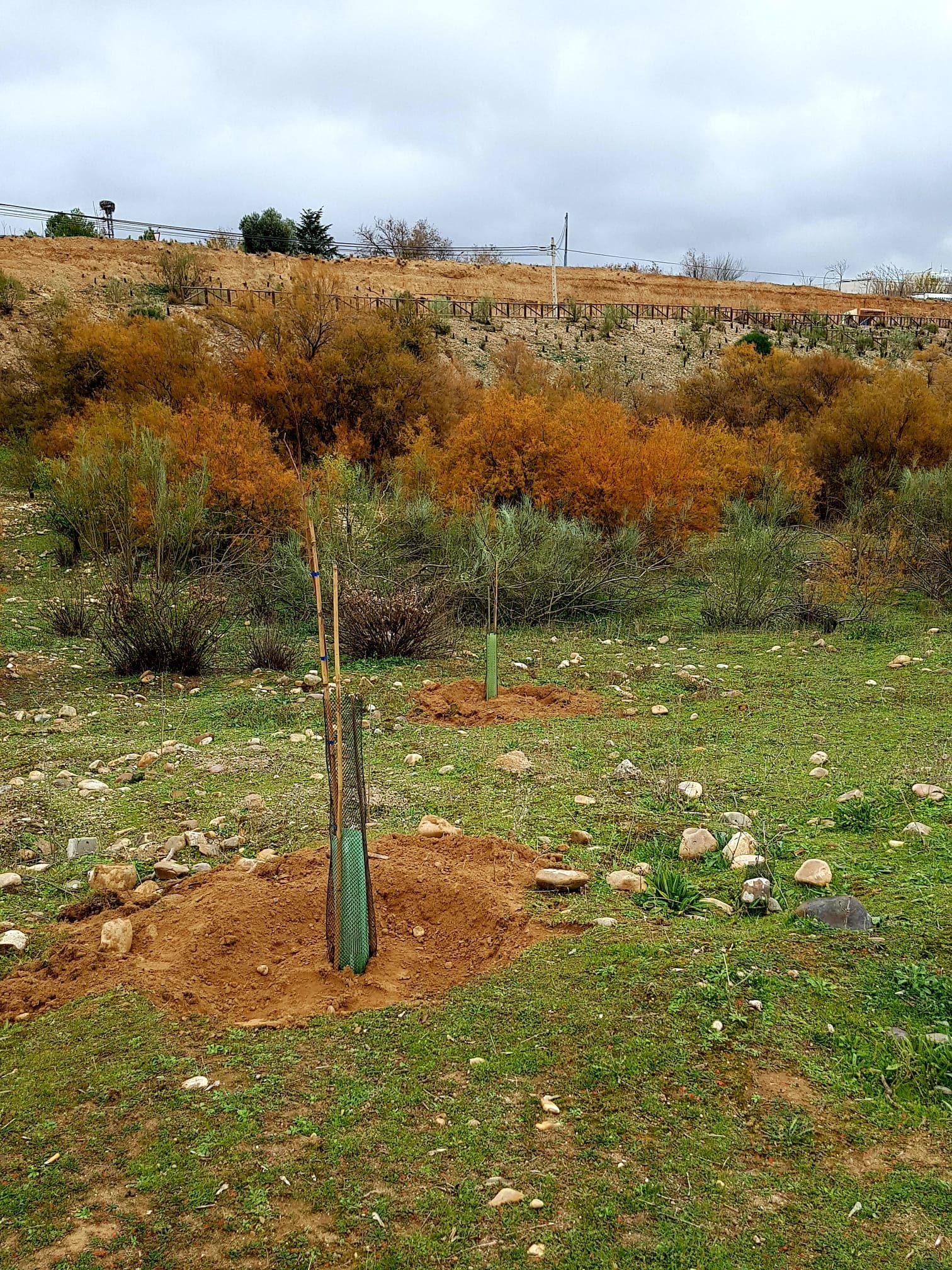 Plantación de 25 olmos y 25 fresnos en el paraje de la laguna Miralrío